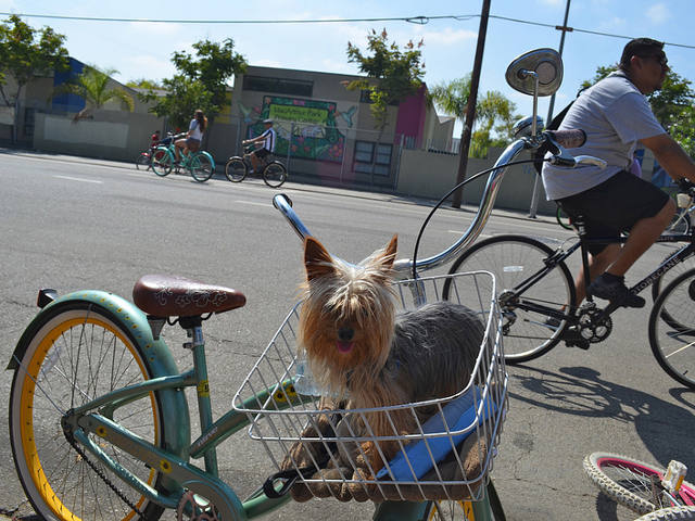 A four-legged passenger enjoys the CycLAvia bike event in Los Angeles, California. Photo by Melissa Wall.